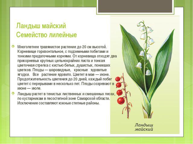Ландыш майский Семейство лилейные Многолетнее травянистое растение до 20 см в...