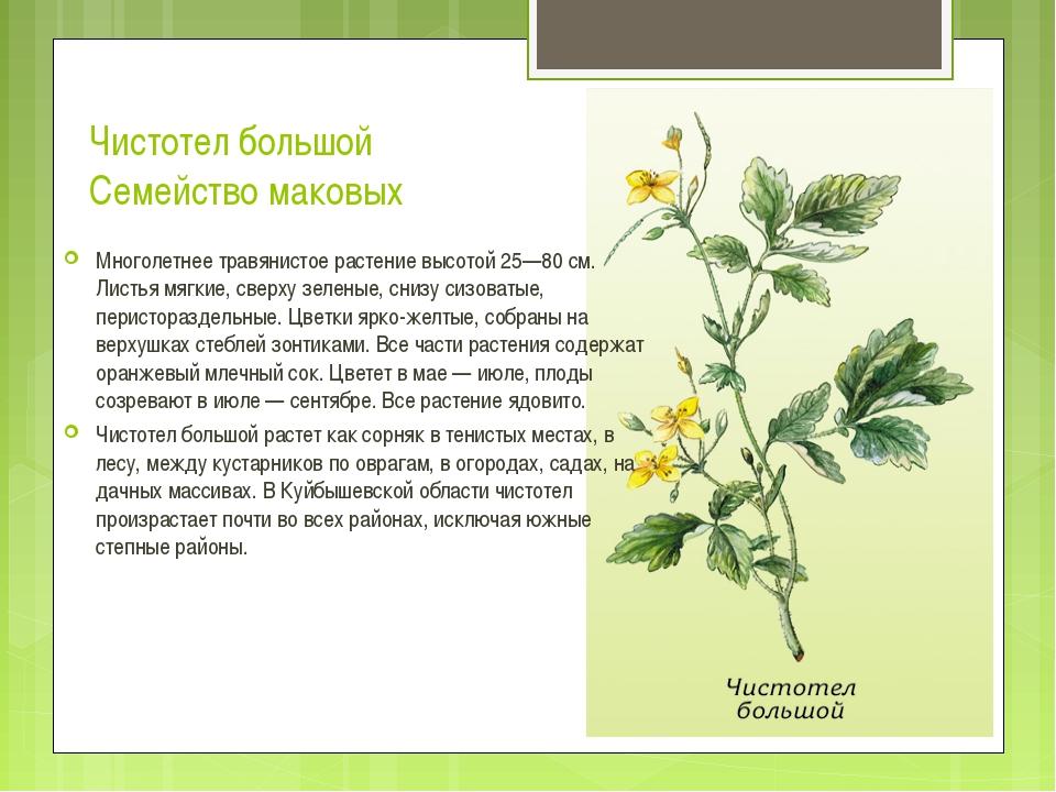 Чистотел большой Семейство маковых Многолетнее травянистое растение высотой 2...