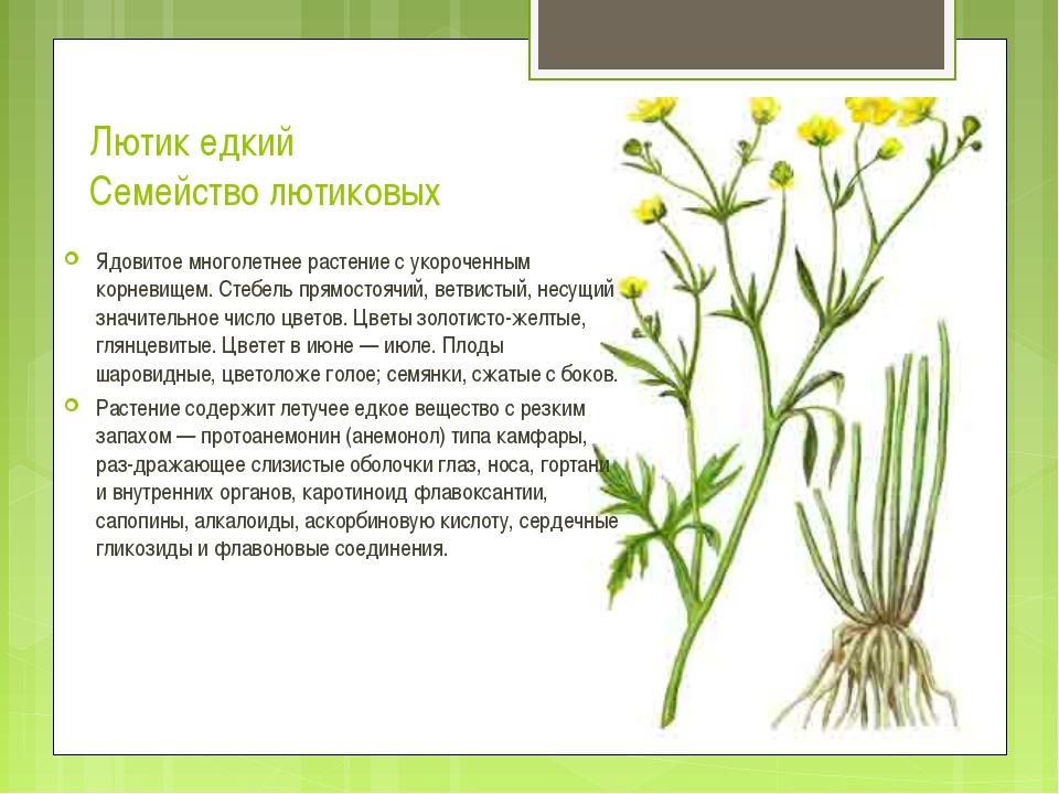 Лютик едкий Семейство лютиковых Ядовитое многолетнее растение с укороченным к...