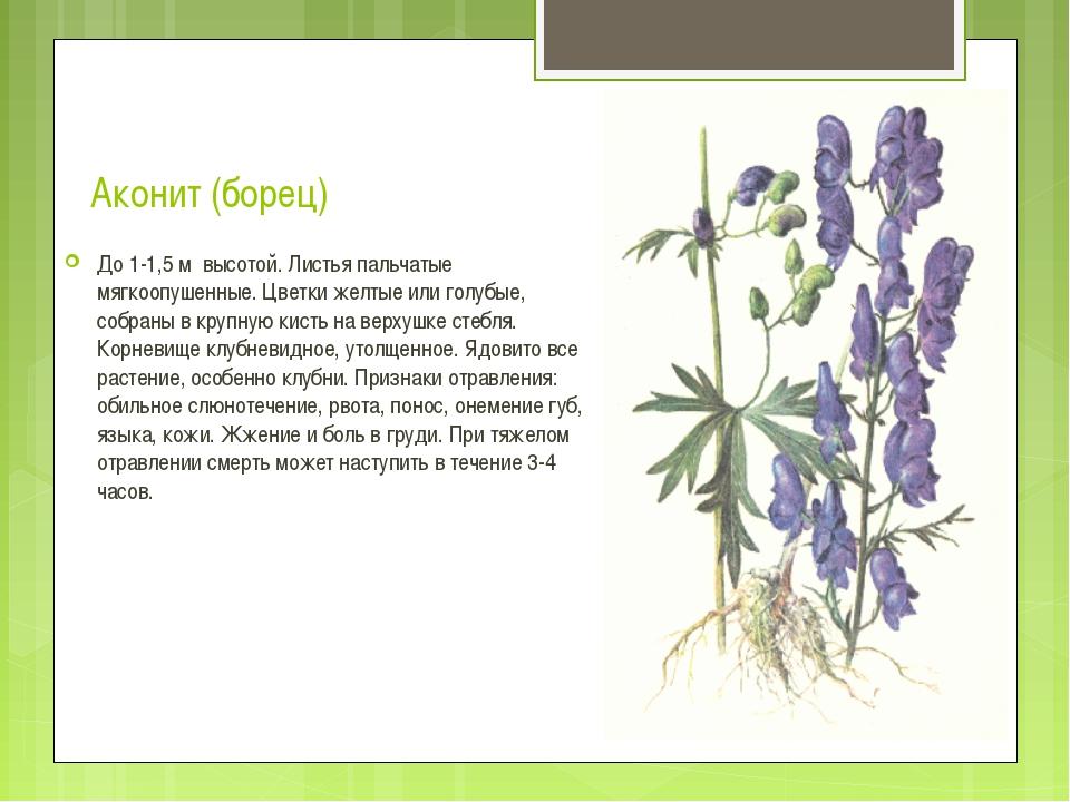 Аконит (борец) До 1-1,5 м высотой. Листья пальчатые мягкоопушенные. Цветки же...