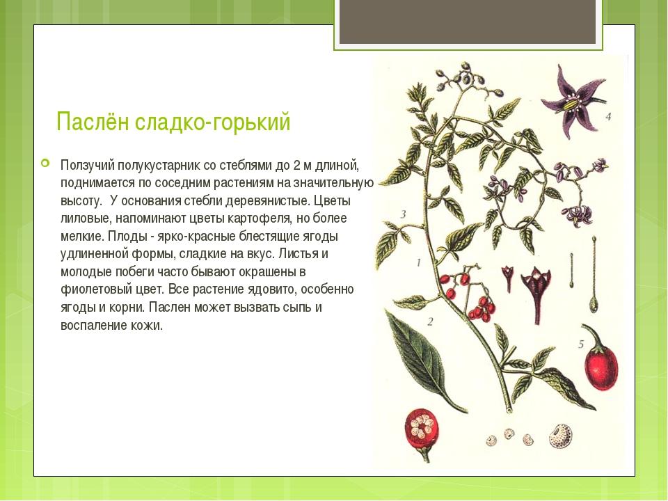 Паслён сладко-горький выращивание 24