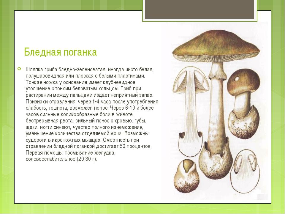 Бледная поганка Шляпка гриба бледно-зеленоватая, иногда чисто белая, полушаро...