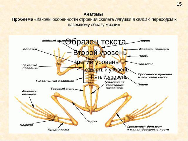 Анатомы Проблема «Каковы особенности строения скелета лягушки в связи с перех...