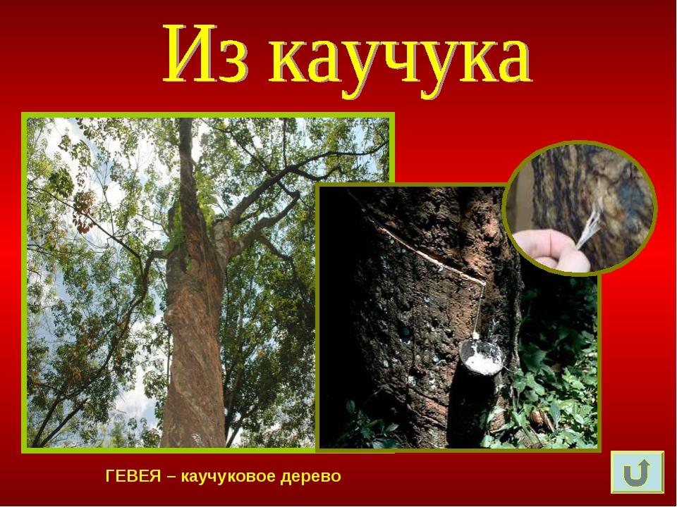ГЕВЕЯ – каучуковое дерево