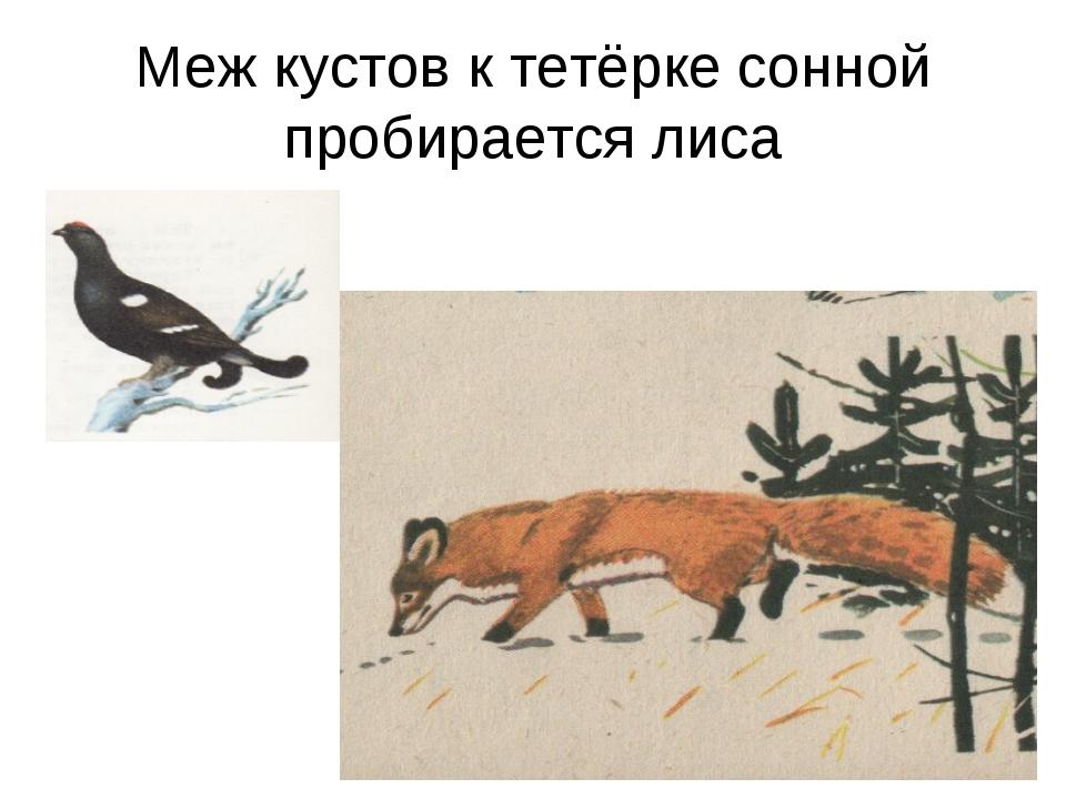 Меж кустов к тетёрке сонной пробирается лиса