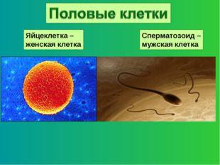 Яйцеклетка – женская клетка Сперматозоид – мужская клетка