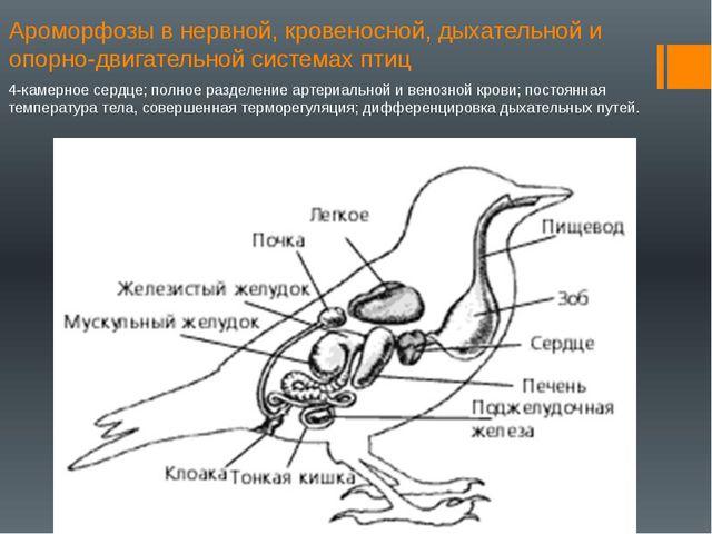 Ароморфозы в нервной, кровеносной, дыхательной и опорно-двигательной системах...
