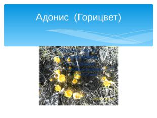 Адонис (Горицвет)
