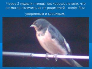 Через 2 недели птенцы так хорошо летали, что не могла отличить их от родителе