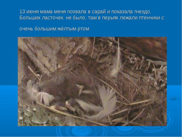 13 июня мама меня позвала в сарай и показала гнездо. Больших ласточек не был...