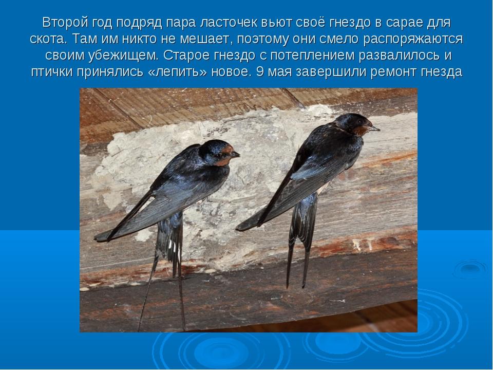 Второй год подряд пара ласточек вьют своё гнездо в сарае для скота. Там им ни...