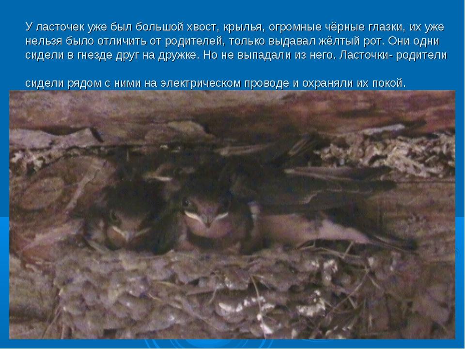 У ласточек уже был большой хвост, крылья, огромные чёрные глазки, их уже нель...