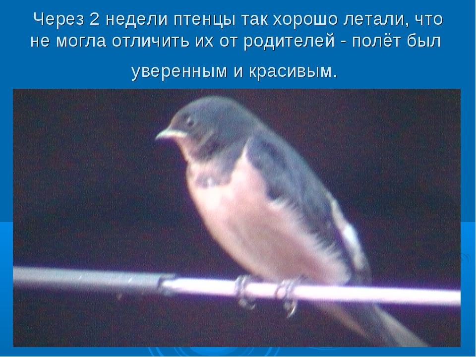 Через 2 недели птенцы так хорошо летали, что не могла отличить их от родителе...