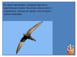 На земле им мешают длинные крылья и коротенькие ножки. На ветках они не могут