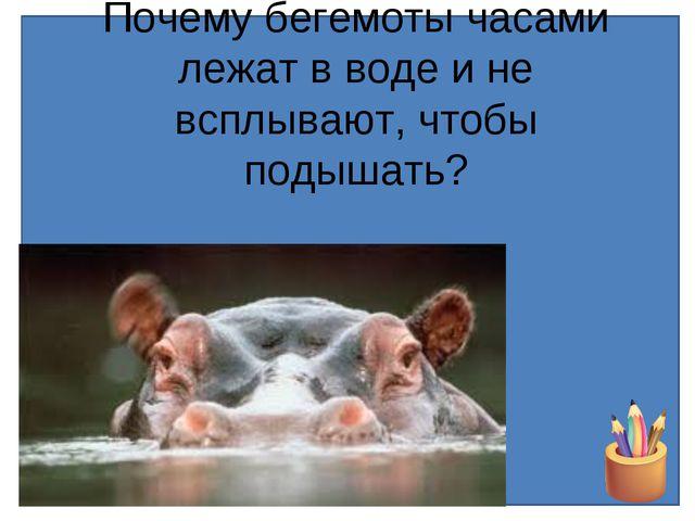 Почему бегемоты часами лежат в воде и не всплывают, чтобы подышать?