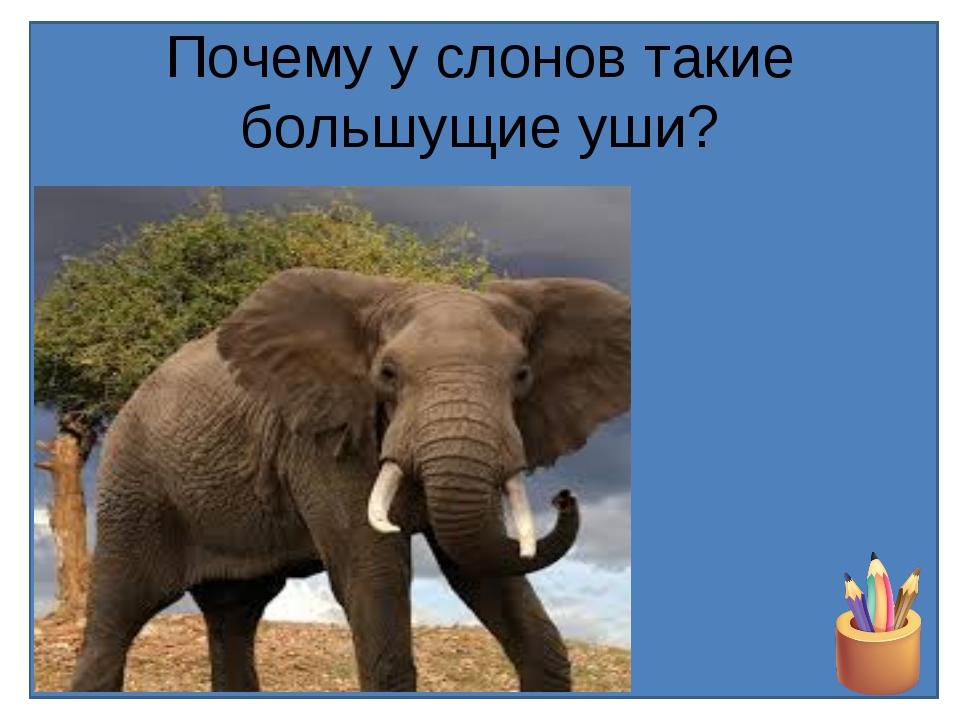 Почему у слонов такие большущие уши?