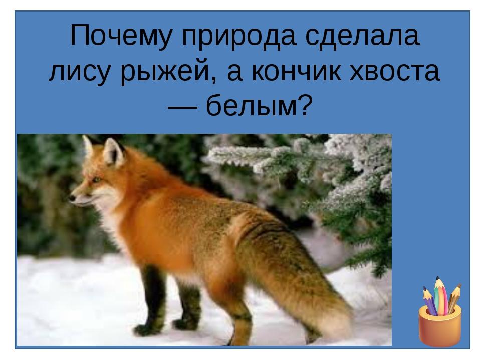 Почему природа сделала лису рыжей, а кончик хвоста — белым?