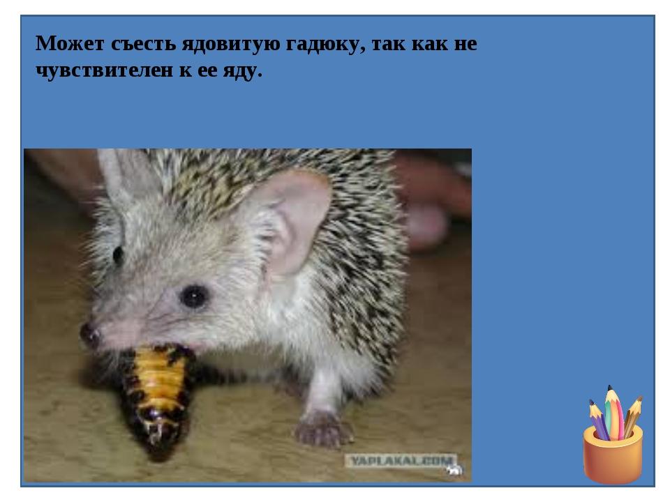 Может съесть ядовитую гадюку, так как не чувствителен к ее яду.