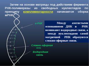 Затем на основе матрицы под действием фермента РНК-полимеразы из свободных