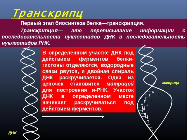Транскрипция  Первый этап биосинтеза белка—транскрипция. Транскрипция— эт...