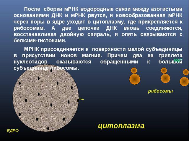 мРНК После сборки мРНК водородные связи между азотистыми основаниями ДНК и...