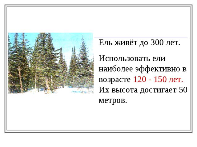Ель живёт до 300 лет. Использовать ели наиболее эффективно в возрасте 120 -...