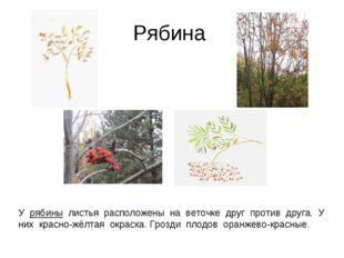Рябина У рябины листья расположены на веточке друг против друга. У них красно