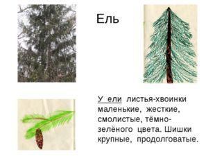 Ель У ели листья-хвоинки маленькие, жесткие, смолистые, тёмно-зелёного цвета.