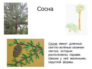 Сосна Сосна имеет длинные светло-зелёные хвоинки-листья, которые расположены