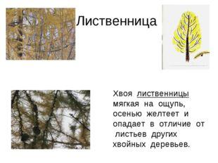 Лиственница Хвоя лиственницы мягкая на ощупь, осенью желтеет и опадает в отл