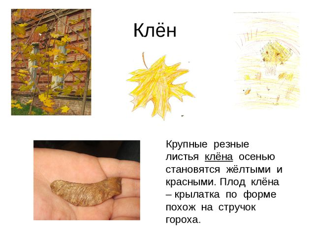 Клён Крупные резные листья клёна осенью становятся жёлтыми и красными. Плод к...