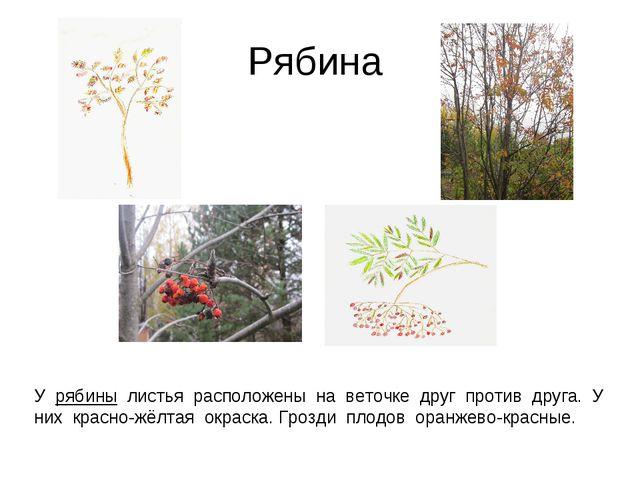 Рябина У рябины листья расположены на веточке друг против друга. У них красно...
