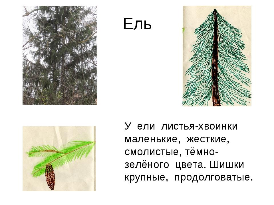 Ель У ели листья-хвоинки маленькие, жесткие, смолистые, тёмно-зелёного цвета....
