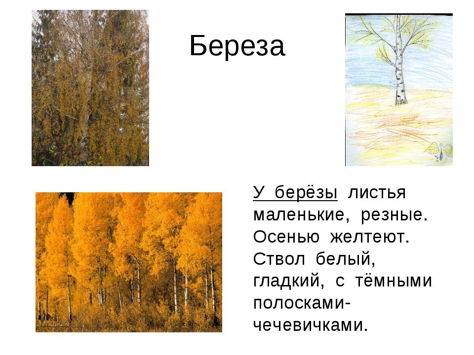 Береза У берёзы листья маленькие, резные. Осенью желтеют. Ствол белый, гладки...