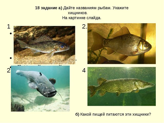 а) Дайте названиям рыбам. Укажите хищников. На картинке слайда. б) Какой пище...