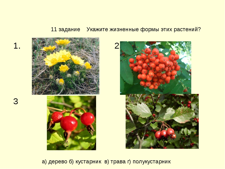 11 задание Укажите жизненные формы этих растений? а) дерево б) кустарник в) т...