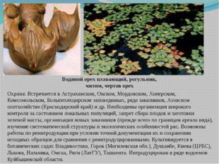 Водяной орех плавающий, рогульник, чилим, чертов орех Охрана: Встречается в А