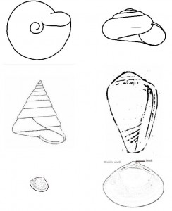 http://www.biologyeducation.net/wp-content/uploads/shells-244x300.jpg