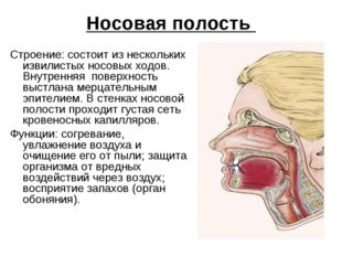 Носовая полость Строение: состоит из нескольких извилистых носовых ходов. Вну