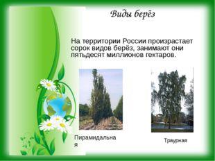Виды берёз На территории России произрастает сорок видов берёз, занимают они