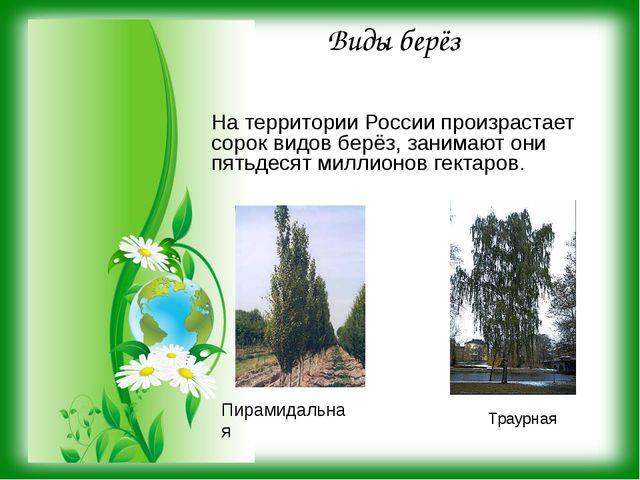 Виды берёз На территории России произрастает сорок видов берёз, занимают они...