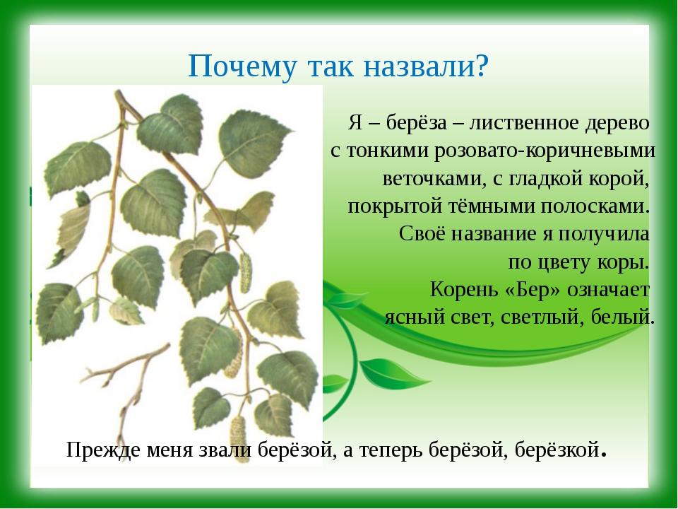 Почему так назвали? Я – берёза – лиственное дерево с тонкими розовато-коричне...