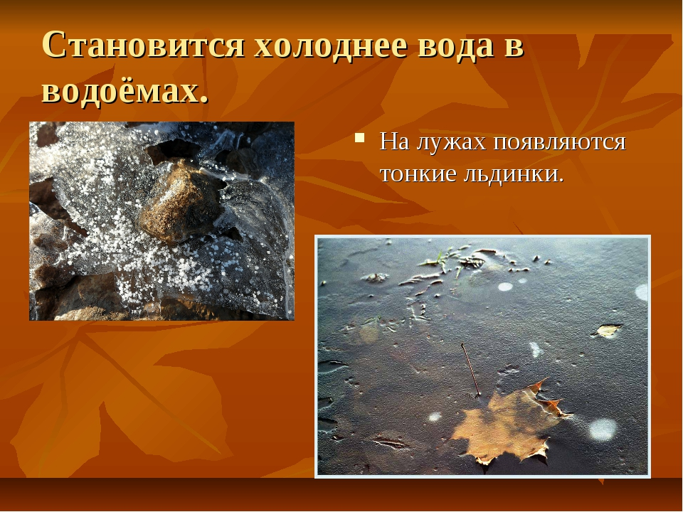 Становится холоднее вода в водоёмах. На лужах появляются тонкие льдинки.