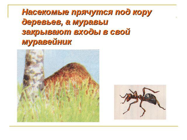 Насекомые прячутся под кору деревьев, а муравьи закрывают входы в свой мураве...