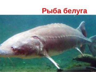 Рыба белуга
