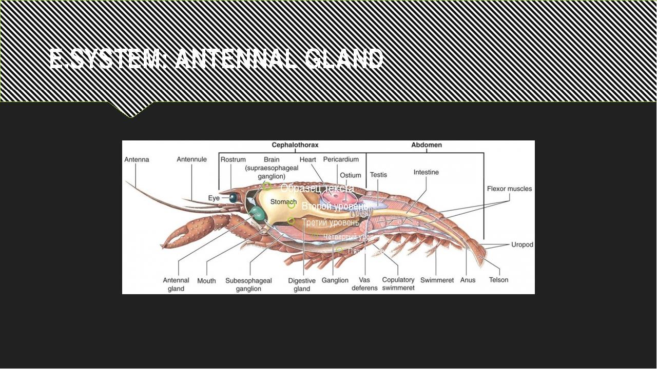 E.SYSTEM: ANTENNAL GLAND