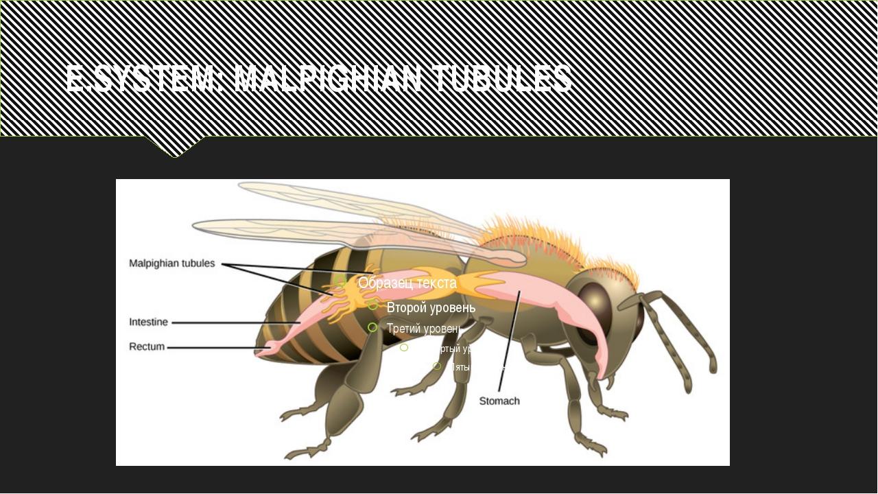 E.SYSTEM: MALPIGHIAN TUBULES