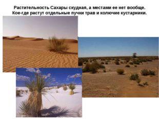 Растительность Сахары скудная, а местами ее нет вообще. Кое-где растут отдель
