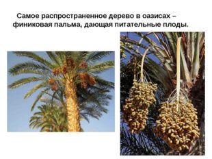 Самое распространенное дерево в оазисах – финиковая пальма, дающая питательн