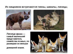 Из хищников встречаются гиены, шакалы, лисицы. Лисица фенек — самый маленький